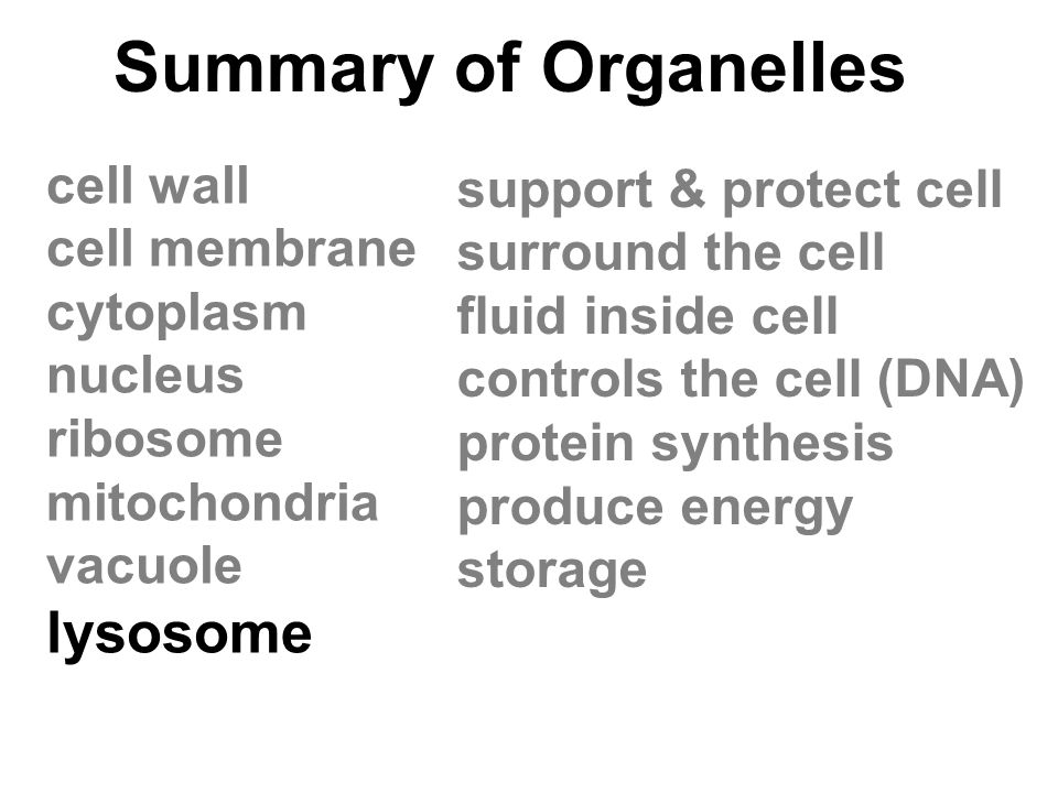 Summary of Organelles cell wall cell membrane cytoplasm nucleus ribosome mitochondria vacuole lysosome support & protect cell surround the cell fluid