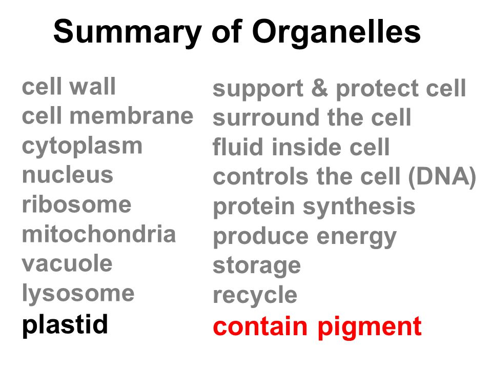 Summary of Organelles cell wall cell membrane cytoplasm nucleus ribosome mitochondria vacuole lysosome plastid support & protect cell surround the cel