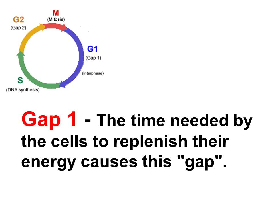 Gap 1 - The time needed by the cells to replenish their energy causes this