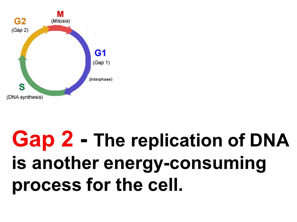 Gap 2 - The replication of DNA is another energy-consuming process for the cell.