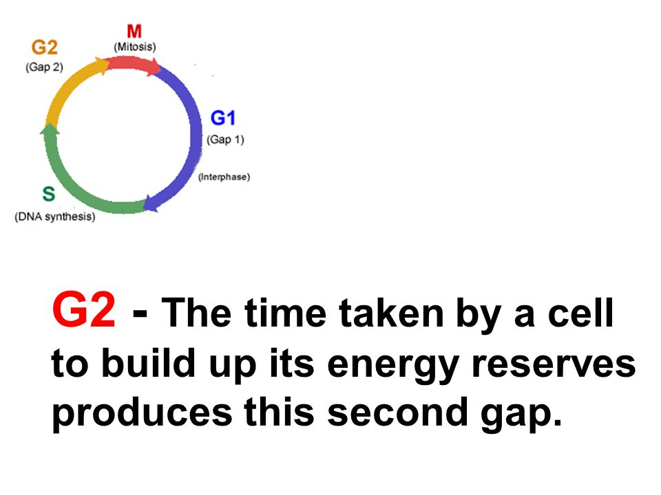 G2 - The time taken by a cell to build up its energy reserves produces this second gap.