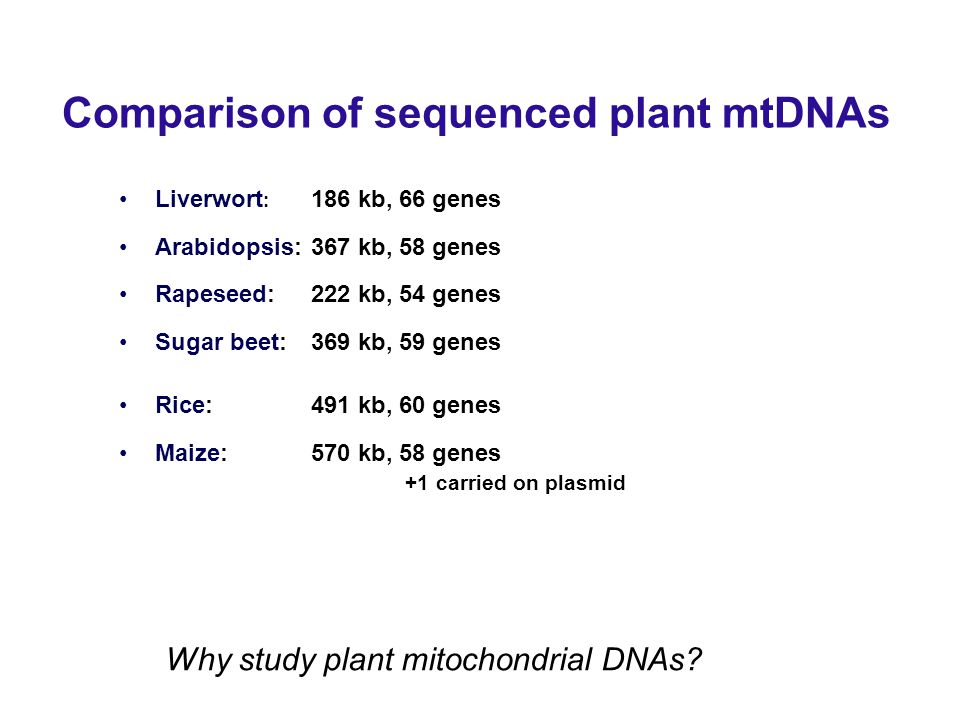 Comparison of sequenced plant mtDNAs Liverwort : 186 kb, 66 genes Arabidopsis: 367 kb, 58 genes Rapeseed: 222 kb, 54 genes Sugar beet: 369 kb, 59 genes Rice: 491 kb, 60 genes Maize: 570 kb, 58 genes +1 carried on plasmid Why study plant mitochondrial DNAs
