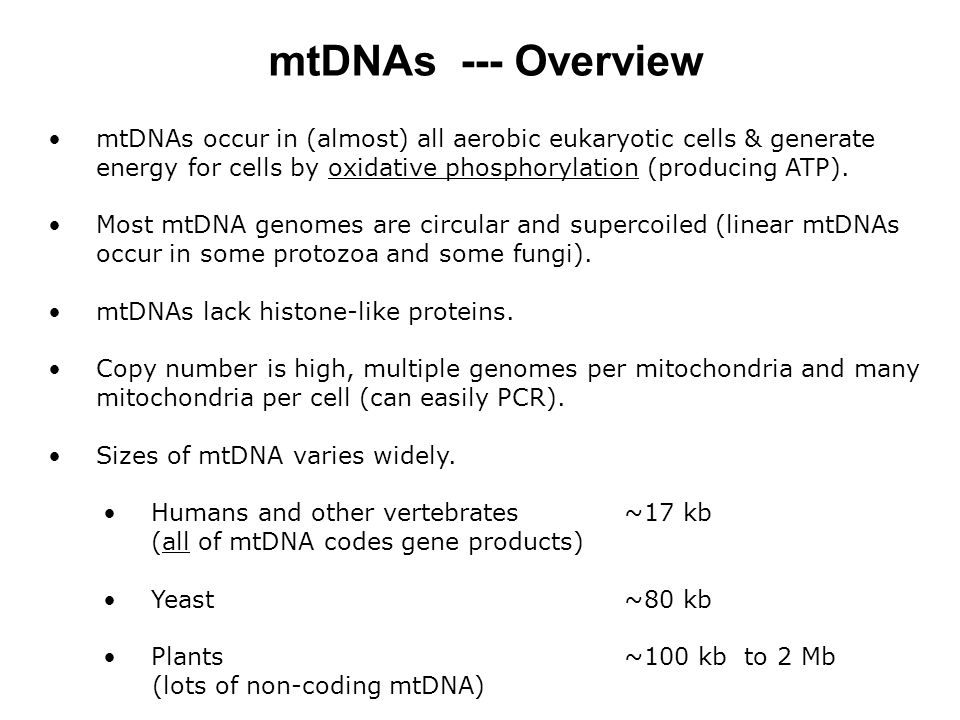 mtDNAs --- Overview mtDNAs occur in (almost) all aerobic eukaryotic cells & generate energy for cells by oxidative phosphorylation (producing ATP).