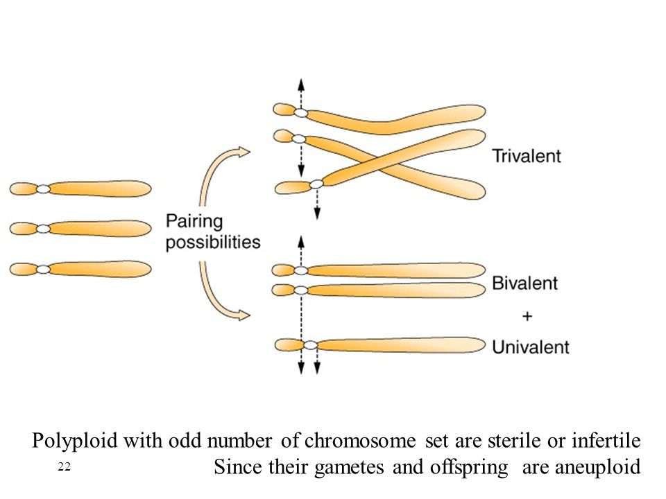 Polyploid with odd number of chromosome set are sterile or infertile Since their gametes and offspring are aneuploid 22