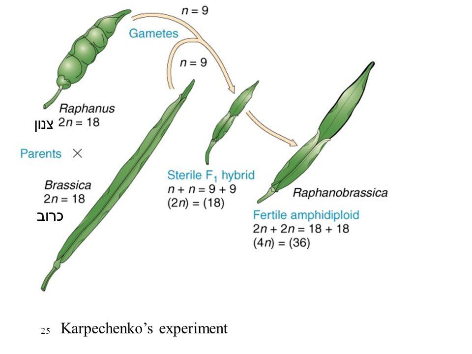 כרוב צנון Karpechenko's experiment 25