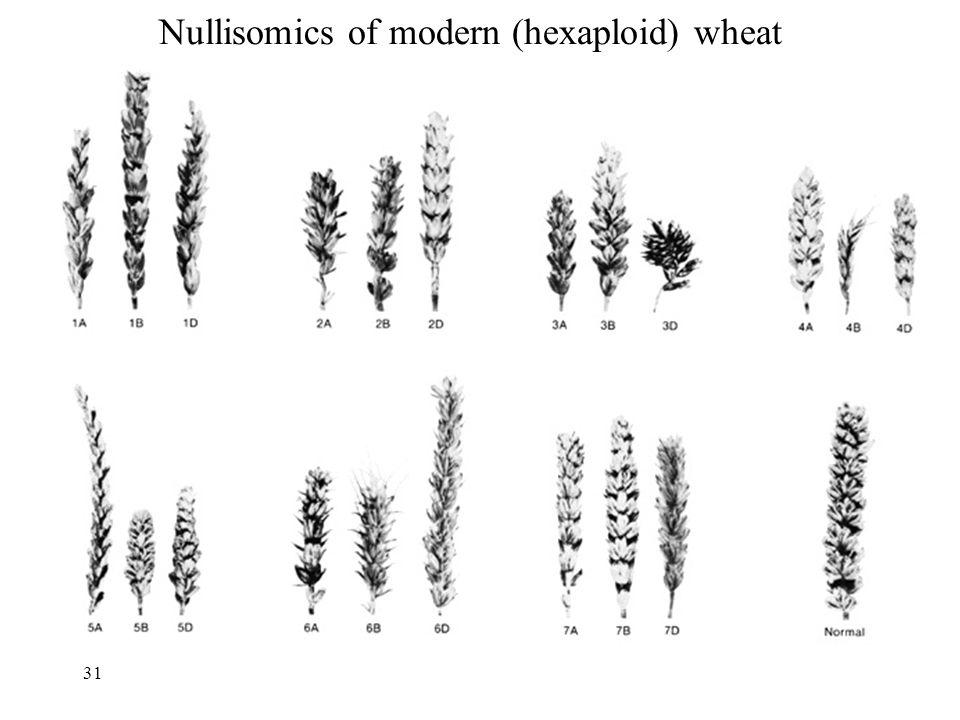 Nullisomics of modern (hexaploid) wheat 31