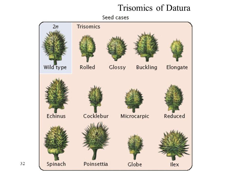 Trisomics of Datura 32