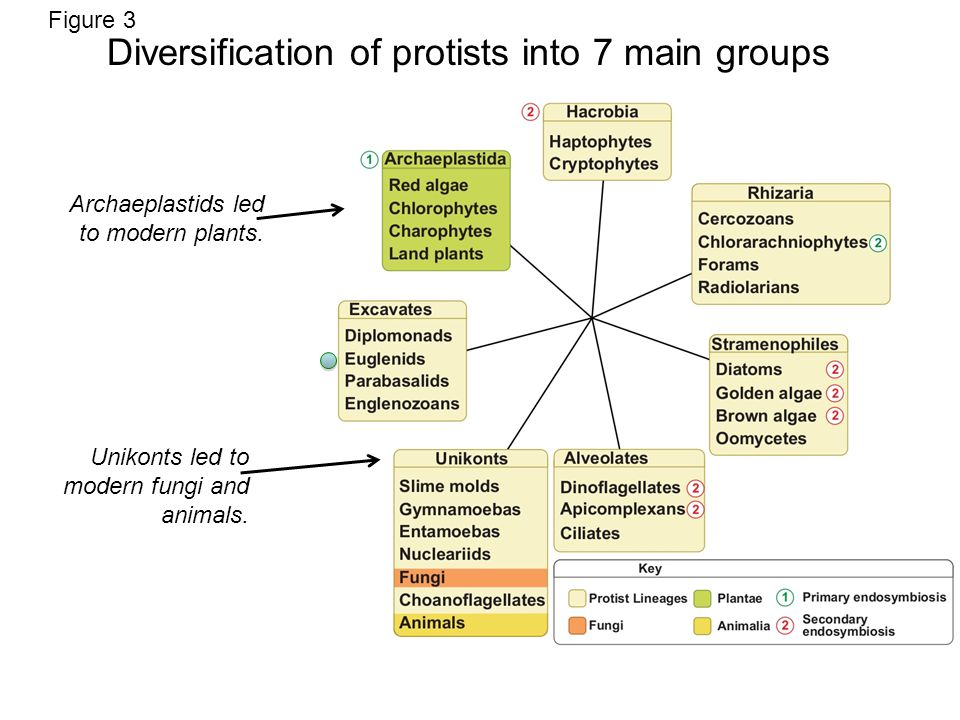 Figure 3 Diversification of protists into 7 main groups Archaeplastids led to modern plants.