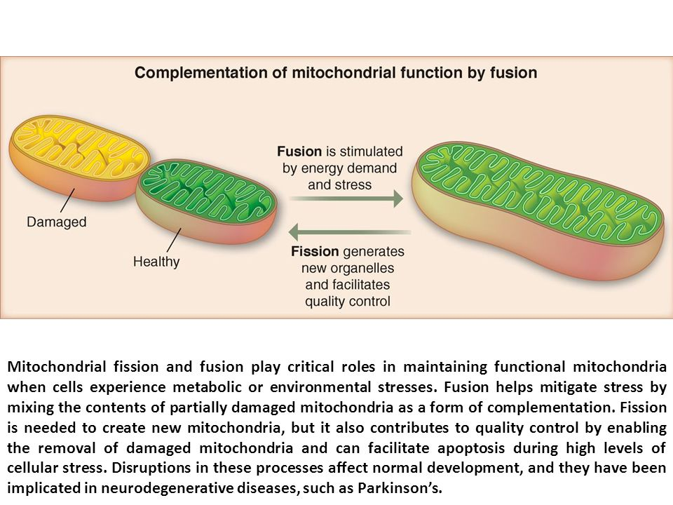 Mitochondrial fission and fusion play critical roles in maintaining functional mitochondria when cells experience metabolic or environmental stresses.