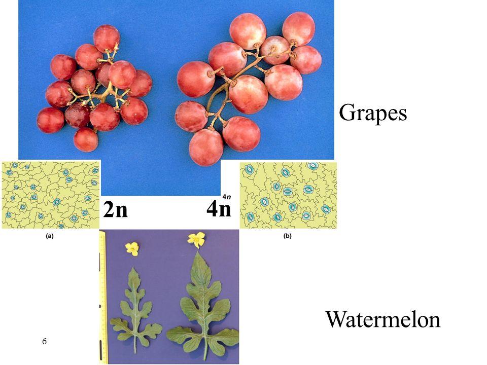 2n 6 Grapes Watermelon 4n