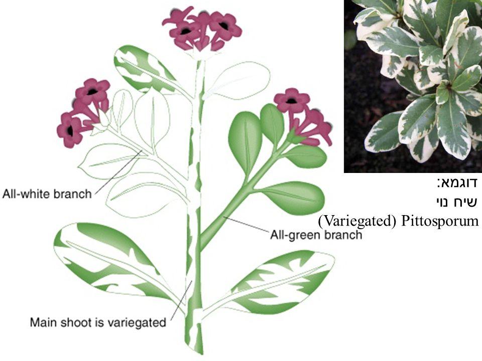 דוגמא : שיח נוי (Variegated) Pittosporum