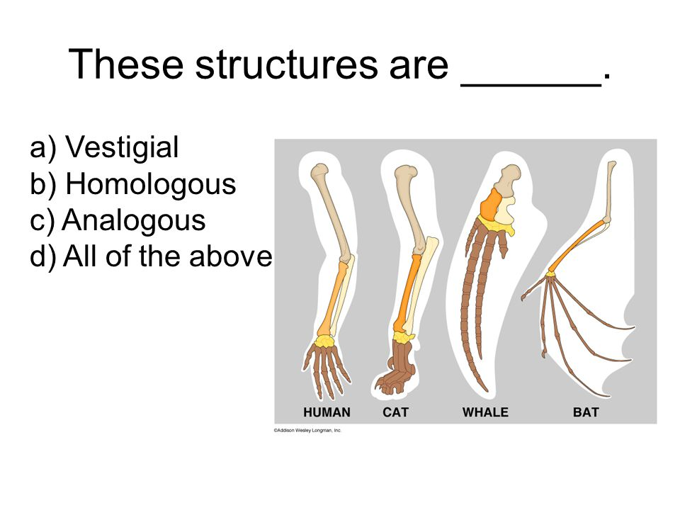 These structures are ______. a) Vestigial b) Homologous c) Analogous d) All of the above