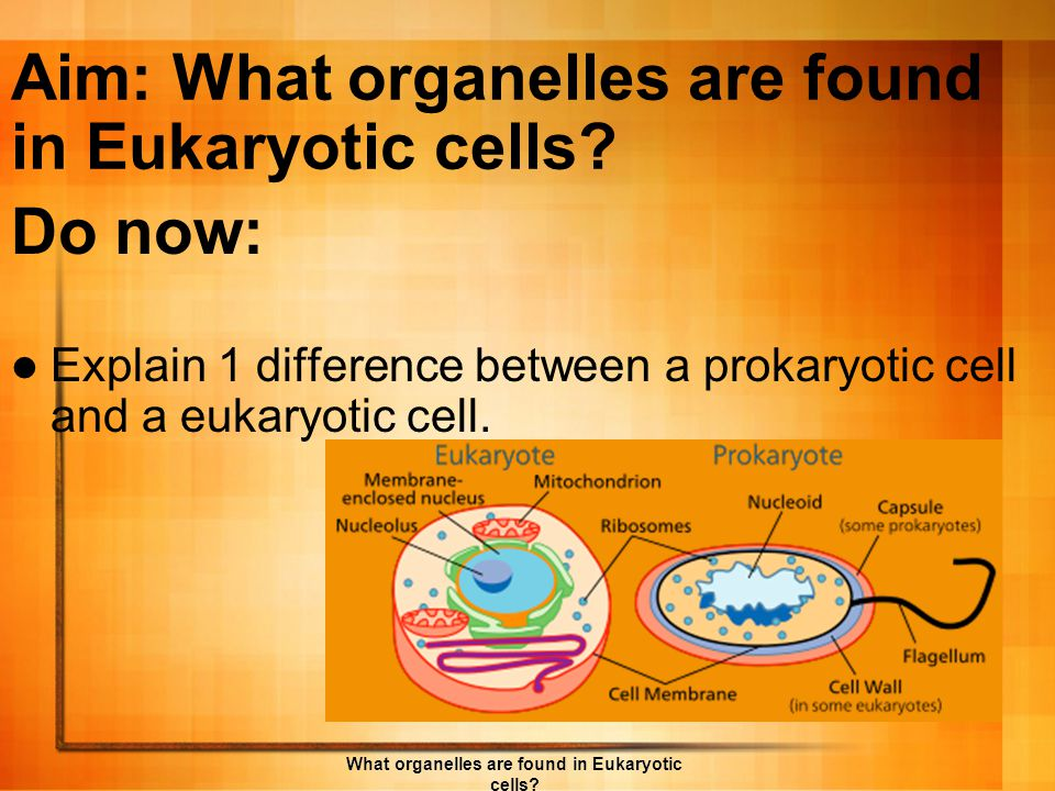 Review: Cell Types Prokaryotic Eukaryotic What organelles are found in Eukaryotic cells?