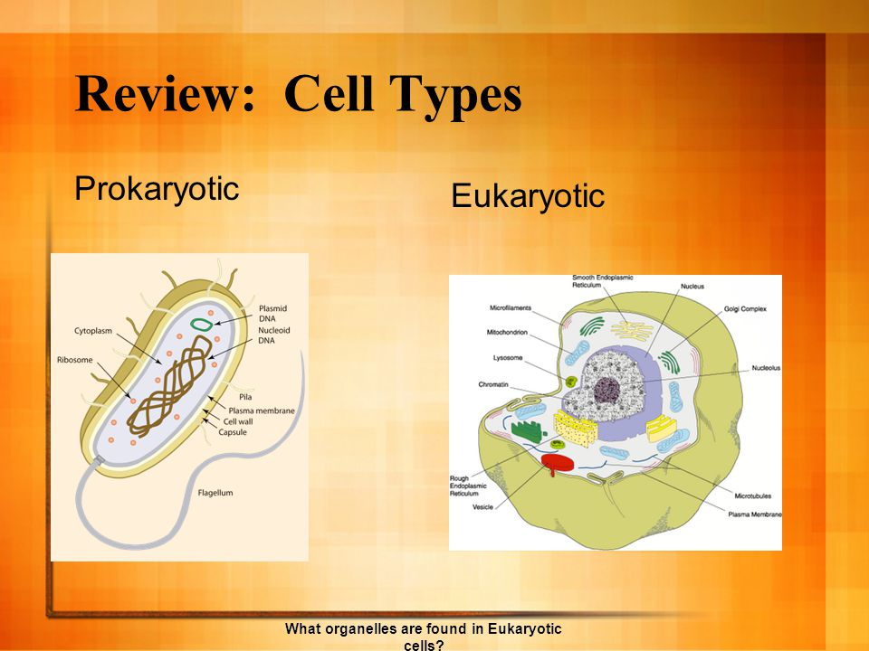 Organelle found only in animal cells. What organelles are found in Eukaryotic cells?