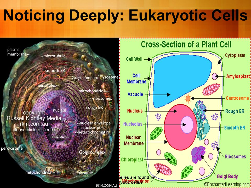 What organelles are found in Eukaryotic cells.