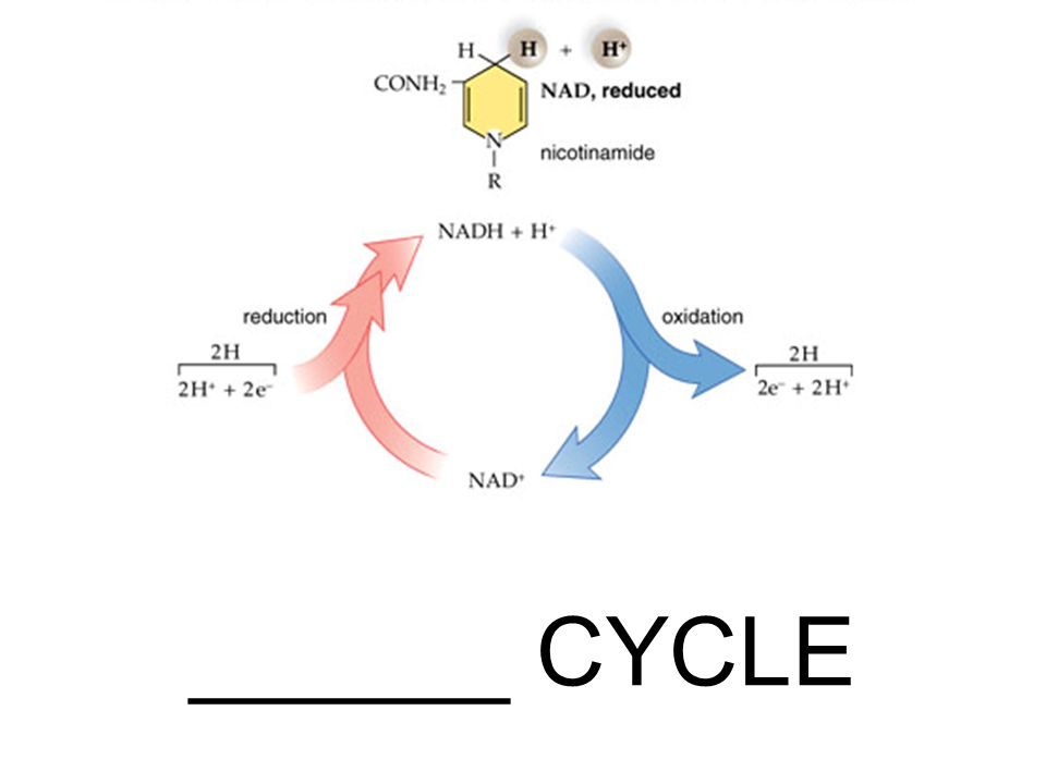 Inside the Mitochondria – Details – B-1 ELECTRON TRANSPORT CHAIN con't–the end of the chain is when O 2 accepts the electrons…therefore _____________ cellular respiration because no ATP are produce.