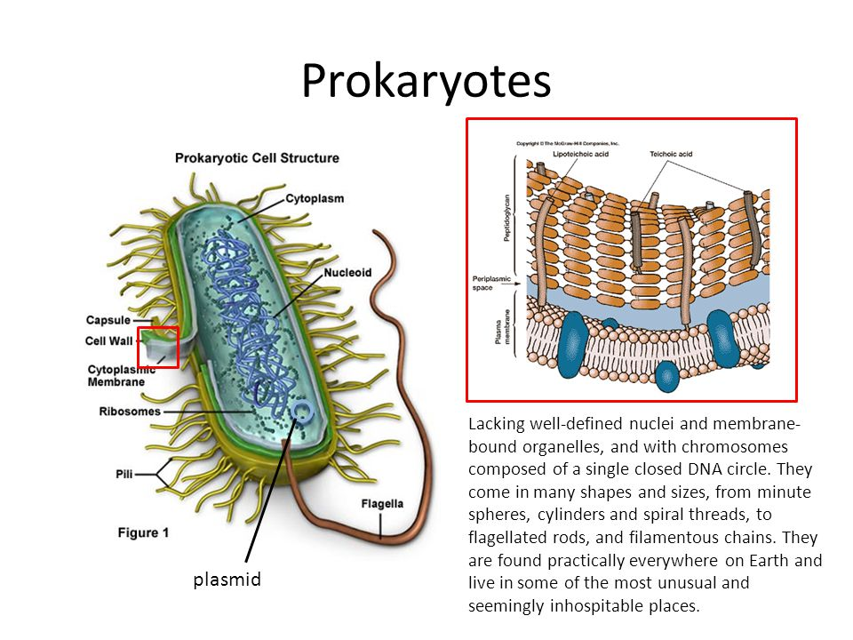 Prokaryotes plasmid Lacking well-defined nuclei and membrane- bound organelles, and with chromosomes composed of a single closed DNA circle.