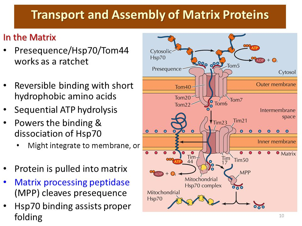 In the Matrix Presequence/Hsp70/Tom44 works as a ratchet Reversible binding with short hydrophobic amino acids Sequential ATP hydrolysis Powers the binding & dissociation of Hsp70 Might integrate to membrane, or Protein is pulled into matrix Matrix processing peptidase (MPP) cleaves presequence Hsp70 binding assists proper folding Transport and Assembly of Matrix Proteins 10