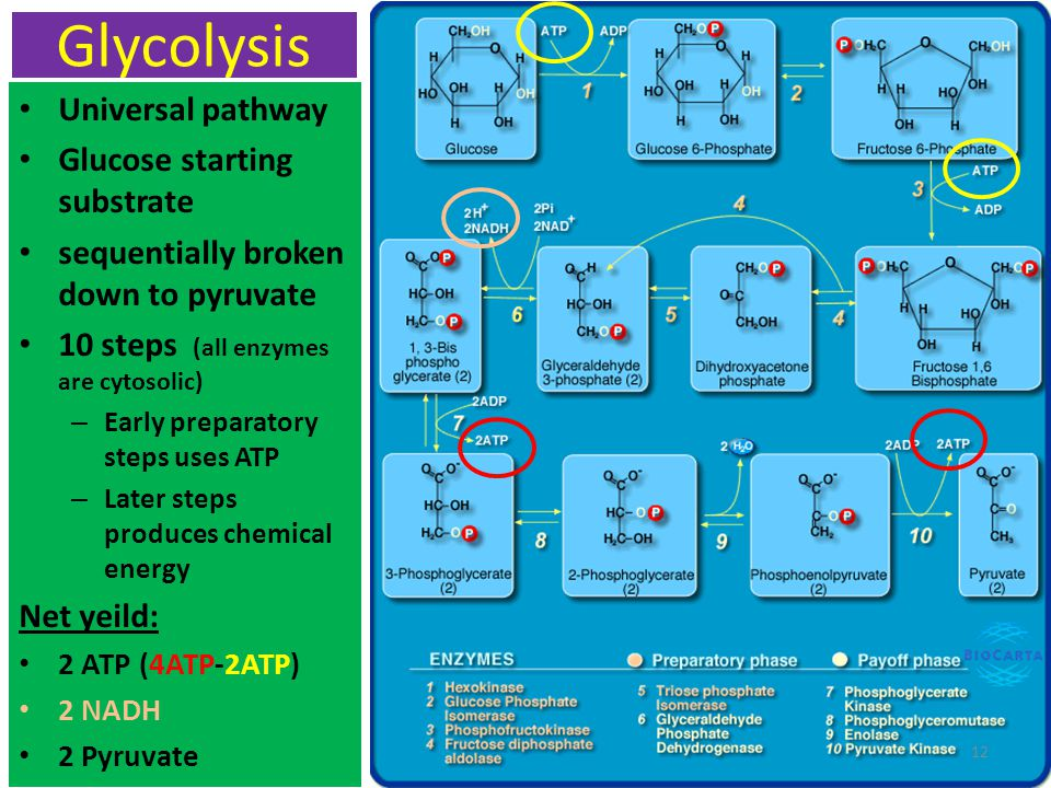 Glycolysis Universal pathway Glucose starting substrate sequentially broken down to pyruvate 10 steps (all enzymes are cytosolic) – Early preparatory steps uses ATP – Later steps produces chemical energy Net yeild: 2 ATP (4ATP-2ATP) 2 NADH 2 Pyruvate 12