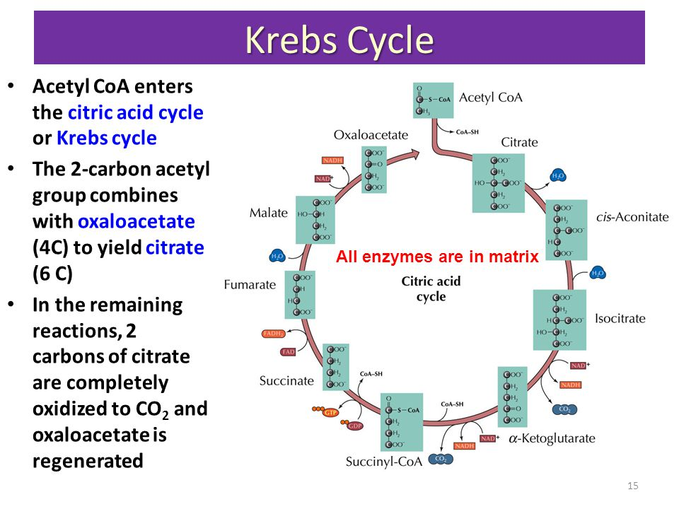 Krebs Cycle Acetyl CoA enters the citric acid cycle or Krebs cycle The 2-carbon acetyl group combines with oxaloacetate (4C) to yield citrate (6 C) In the remaining reactions, 2 carbons of citrate are completely oxidized to CO 2 and oxaloacetate is regenerated All enzymes are in matrix 15