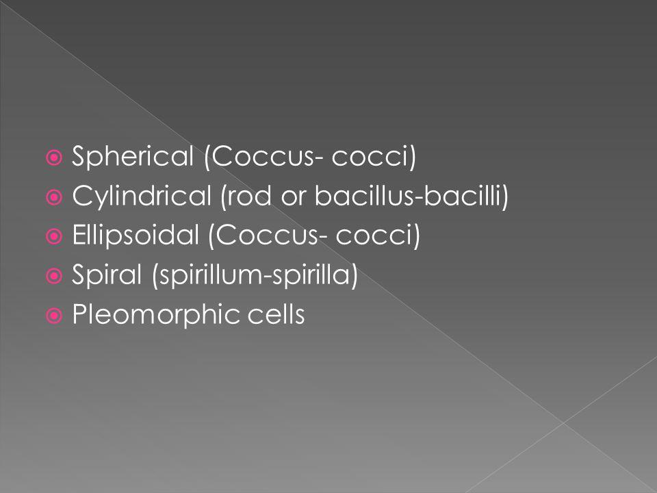  Spherical (Coccus- cocci)  Cylindrical (rod or bacillus-bacilli)  Ellipsoidal (Coccus- cocci)  Spiral (spirillum-spirilla)  Pleomorphic cells