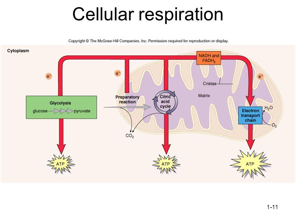 1-11 Cellular respiration
