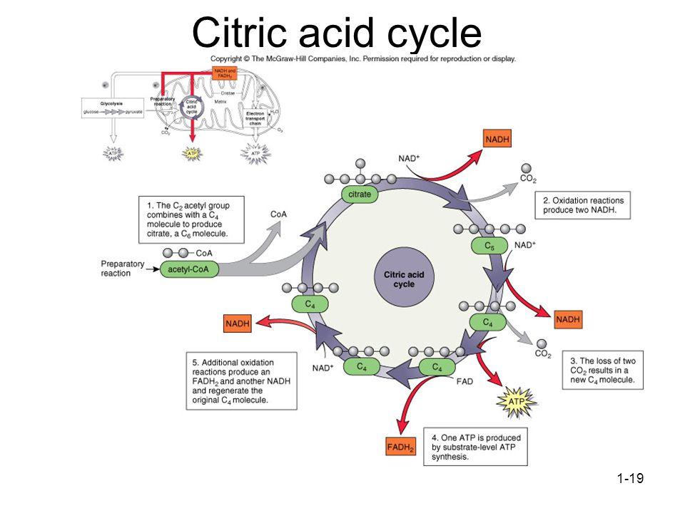 1-19 Citric acid cycle