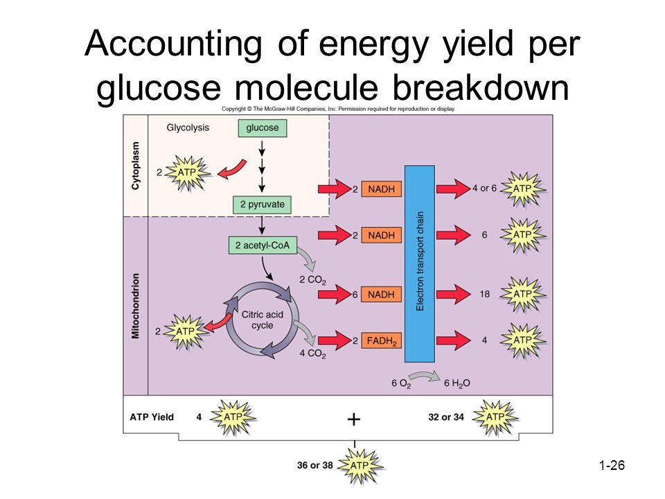 1-26 Accounting of energy yield per glucose molecule breakdown