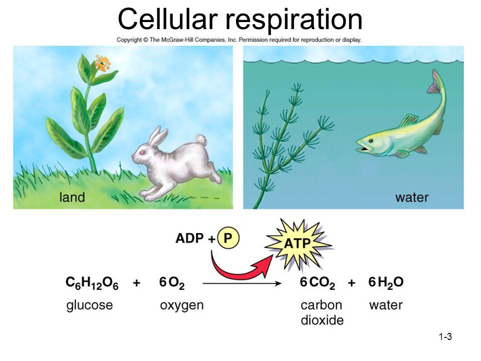 1-3 Cellular respiration