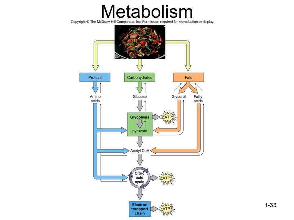 1-33 Metabolism