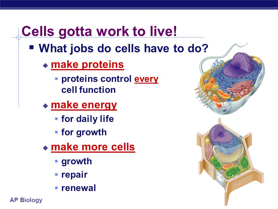 AP Biology Cells gotta work to live!  What jobs do cells have to do?  make proteins  proteins control every cell function  make energy  for daily