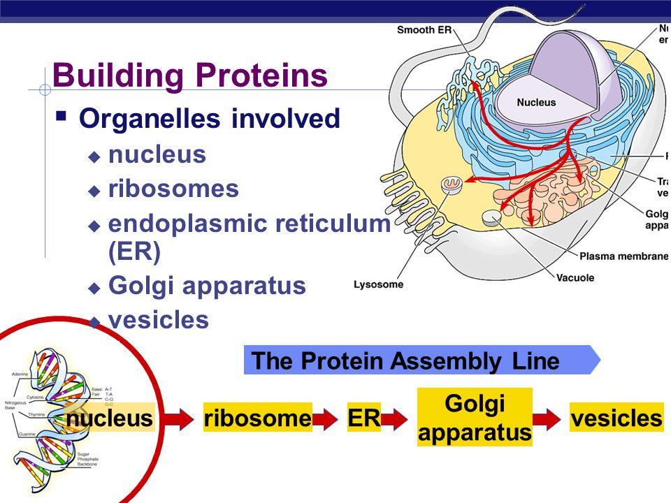 AP Biology Building Proteins  Organelles involved  nucleus  ribosomes  endoplasmic reticulum (ER)  Golgi apparatus  vesicles nucleusribosomeER G