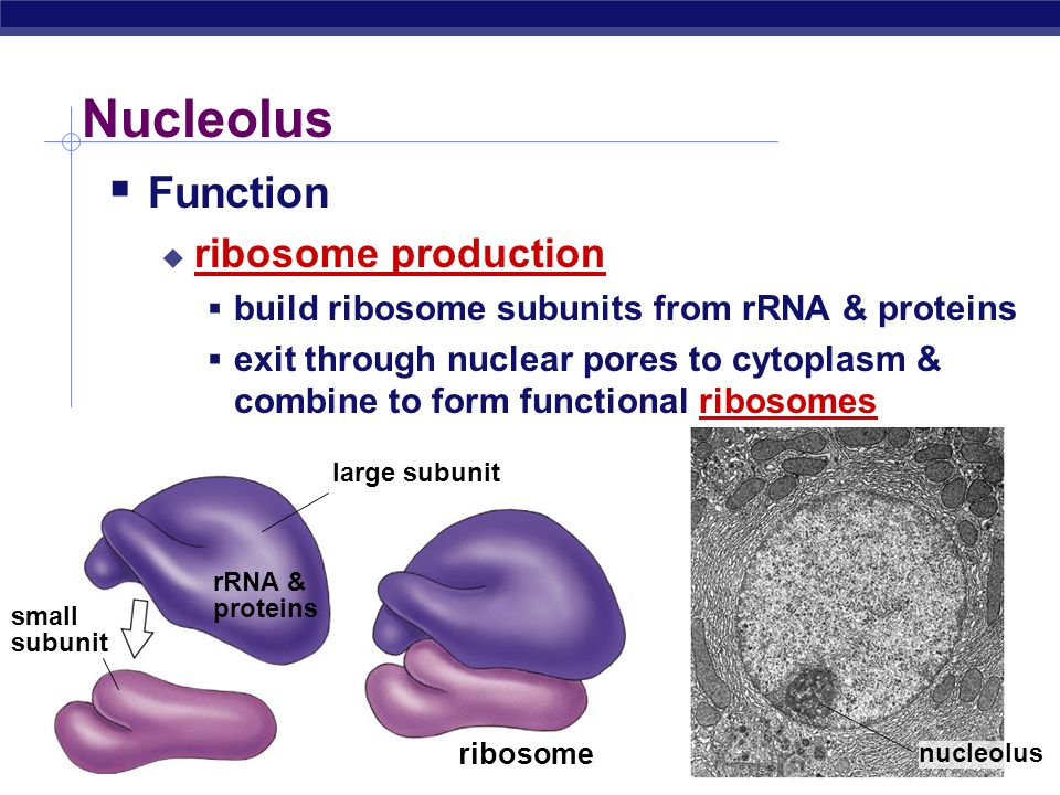 AP Biology Nucleolus  Function  ribosome production  build ribosome subunits from rRNA & proteins  exit through nuclear pores to cytoplasm & combi