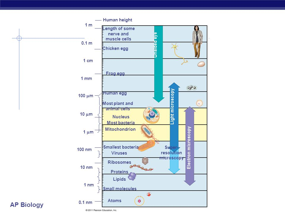 AP Biology 1 m 0.1 m 1 cm 1 mm 100  m 10  m 1  m 100 nm 10 nm 1 nm 0.1 nm Atoms Small molecules Lipids Proteins Ribosomes Viruses Smallest bacteria