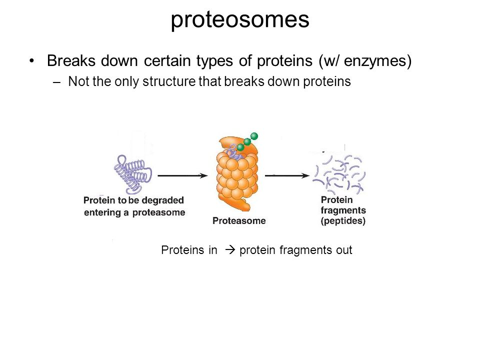 proteosomes Breaks down certain types of proteins (w/ enzymes) –Not the only structure that breaks down proteins Proteins in  protein fragments out