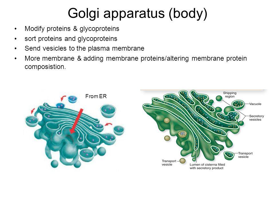 Golgi apparatus (body) Modify proteins & glycoproteins sort proteins and glycoproteins Send vesicles to the plasma membrane More membrane & adding membrane proteins/altering membrane protein composistion.