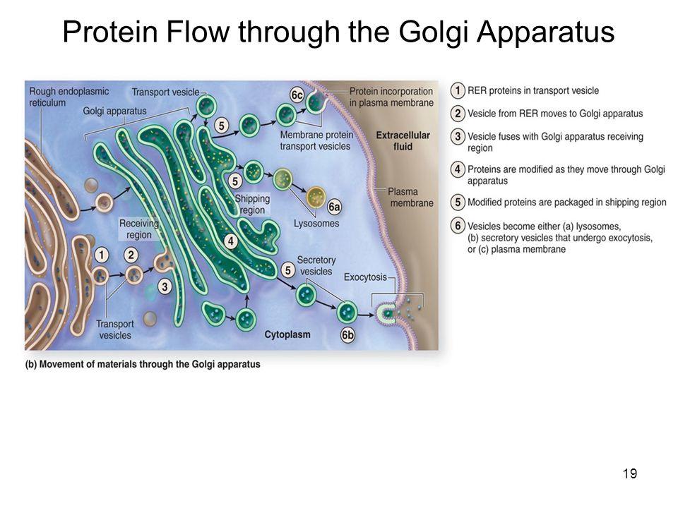 19 Protein Flow through the Golgi Apparatus