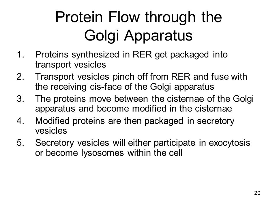 20 Protein Flow through the Golgi Apparatus 1.Proteins synthesized in RER get packaged into transport vesicles 2.Transport vesicles pinch off from RER and fuse with the receiving cis-face of the Golgi apparatus 3.The proteins move between the cisternae of the Golgi apparatus and become modified in the cisternae 4.Modified proteins are then packaged in secretory vesicles 5.Secretory vesicles will either participate in exocytosis or become lysosomes within the cell