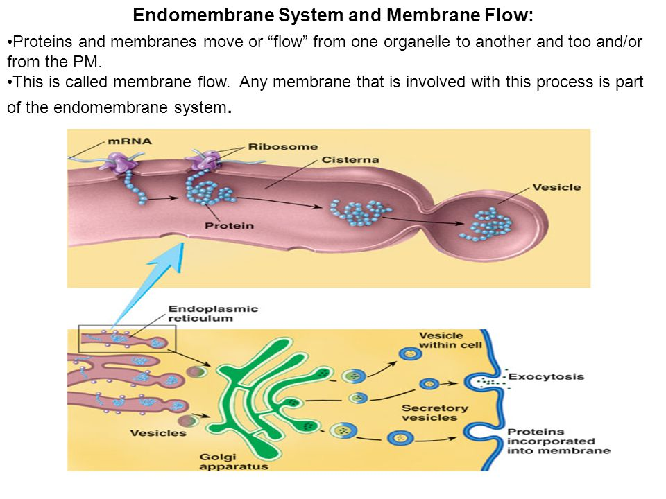 Endomembrane System and Membrane Flow: Proteins and membranes move or flow from one organelle to another and too and/or from the PM.