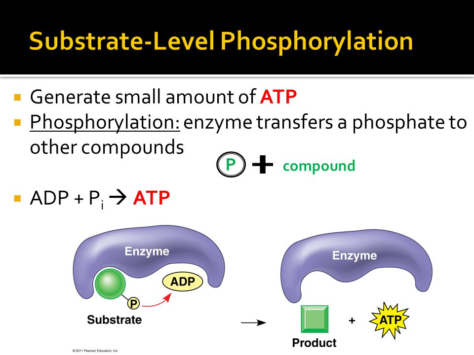  Generate small amount of ATP  Phosphorylation: enzyme transfers a phosphate to other compounds  ADP + P i  ATP P compound