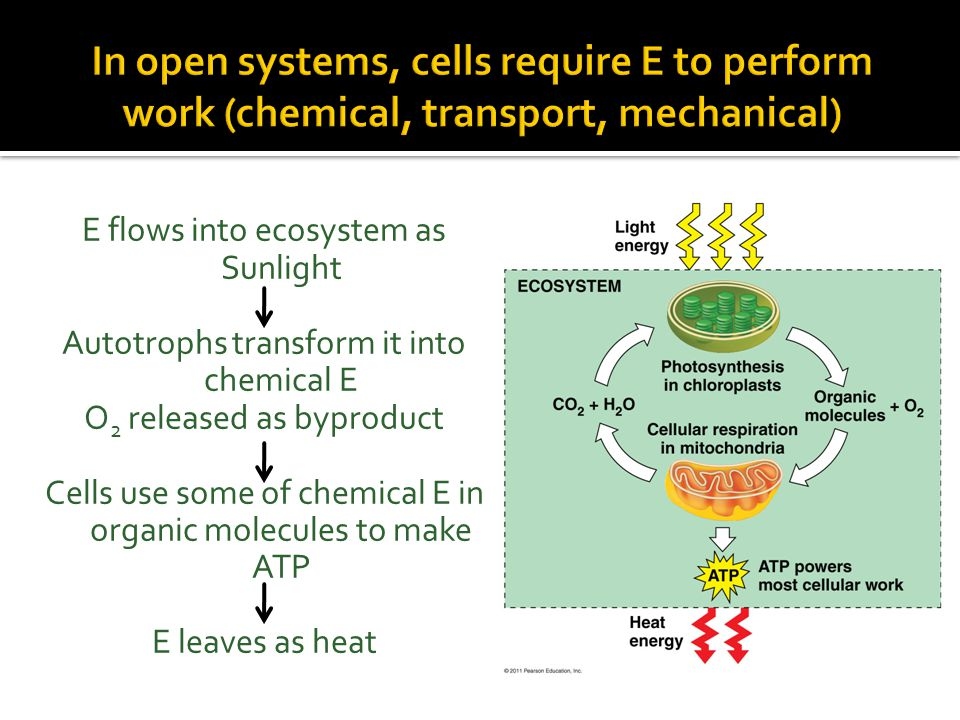 Complex organic molecules Simpler waste products with less E Some E used to do work and dissipated as heat Catabolic Pathway