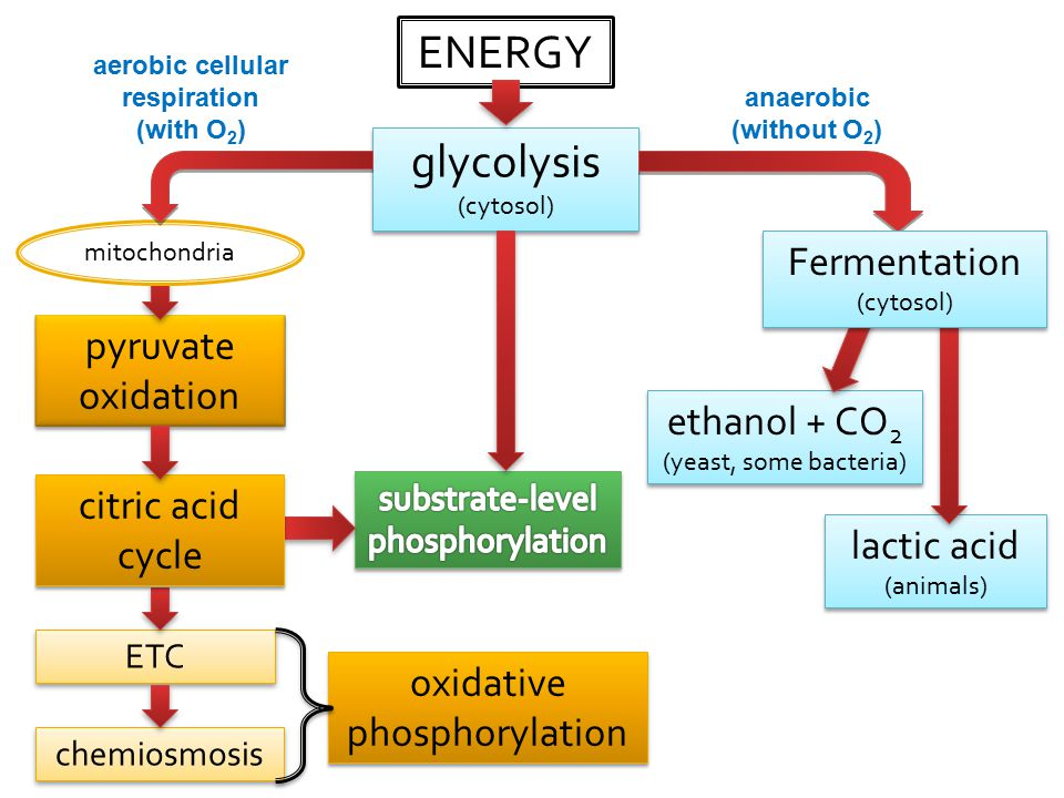 pyruvate oxidation ENERGY glycolysis (cytosol) glycolysis (cytosol) ethanol + CO 2 (yeast, some bacteria) ethanol + CO 2 (yeast, some bacteria) anaerobic (without O 2 ) aerobic cellular respiration (with O 2 ) lactic acid (animals) lactic acid (animals) ETC chemiosmosis oxidative phosphorylation citric acid cycle mitochondria Fermentation (cytosol) Fermentation (cytosol)