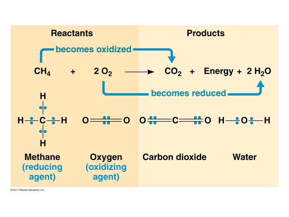  Energy is released as electrons fall from organic molecules to O 2  Broken down into steps: Food (Glucose)  NADH  ETC  O 2  Coenzyme NAD + = electron acceptor  NAD + picks up 2e - and 2H +  NADH (stores E)  NADH carries electrons to the electron transport chain (ETC)  ETC: transfers e - to O 2 to make H 2 O ; releases energy