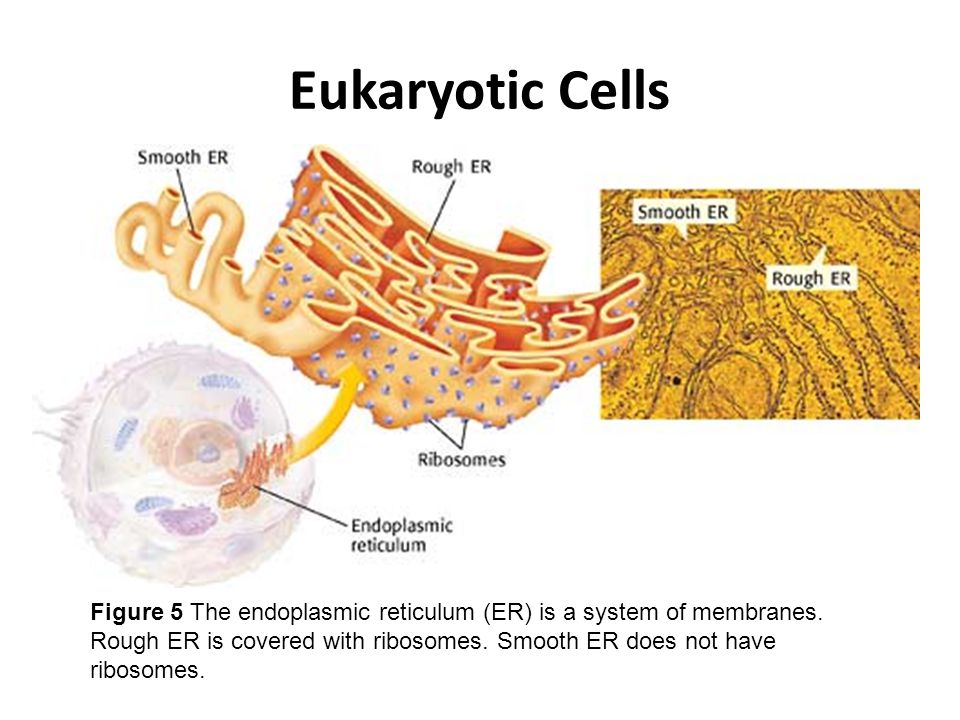 Eukaryotic Cells Figure 5 The endoplasmic reticulum (ER) is a system of membranes.