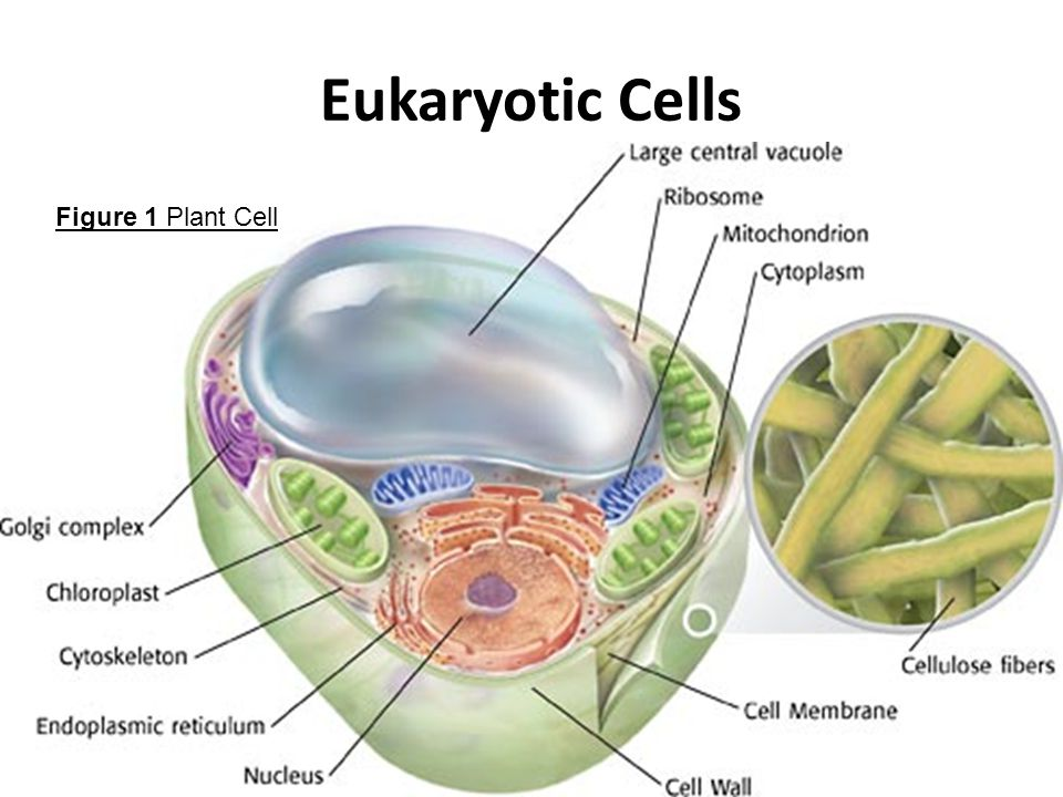Eukaryotic Cells Figure 1 Plant Cell
