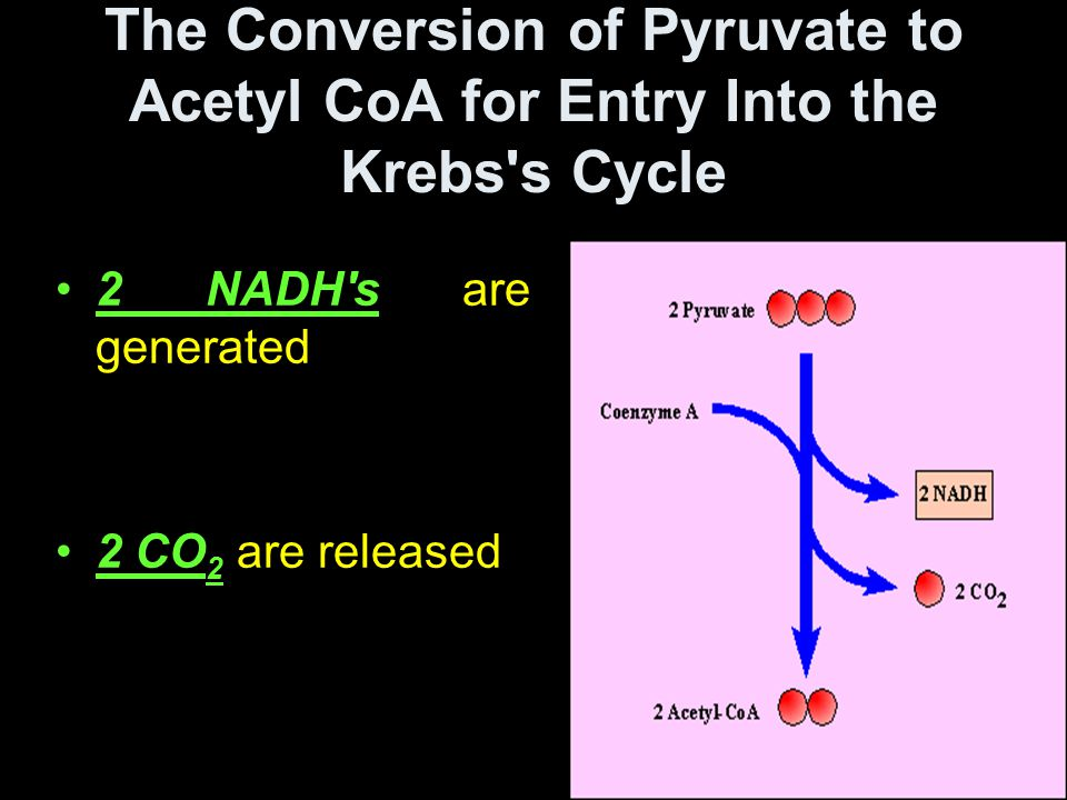 The Conversion of Pyruvate to Acetyl CoA for Entry Into the Krebs s Cycle 2 NADH s are generated 2 CO 2 are released