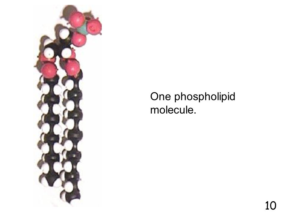 "Cell membrane Animal Cell Cell membrane made of special lipids called ""phospholipids"" 9"