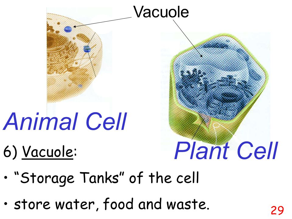 Cell membrane Mitochondria Chloroplast Vacuole Plant Cell 28