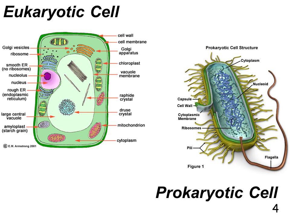 These cells have a nucleus. Nucleus is a membrane covered organelle that holds the DNA. Examples are plant and animal cells. B)Two Types of Cells: The