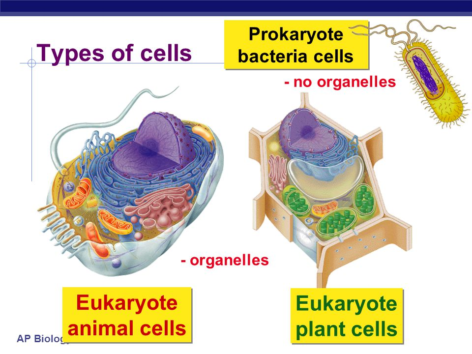 AP Biology Types of cells Prokaryotic cell  DNA in nucleoid region, without a membrane separating it from rest of cell  Cell wall present in all (type differs) Eukaryotic cell  chromosomes in nucleus, membrane- enclosed organelle  Cell walls present in fungi and plants only  More complex  Membrane bound organelles present  Prokaryotic vs.
